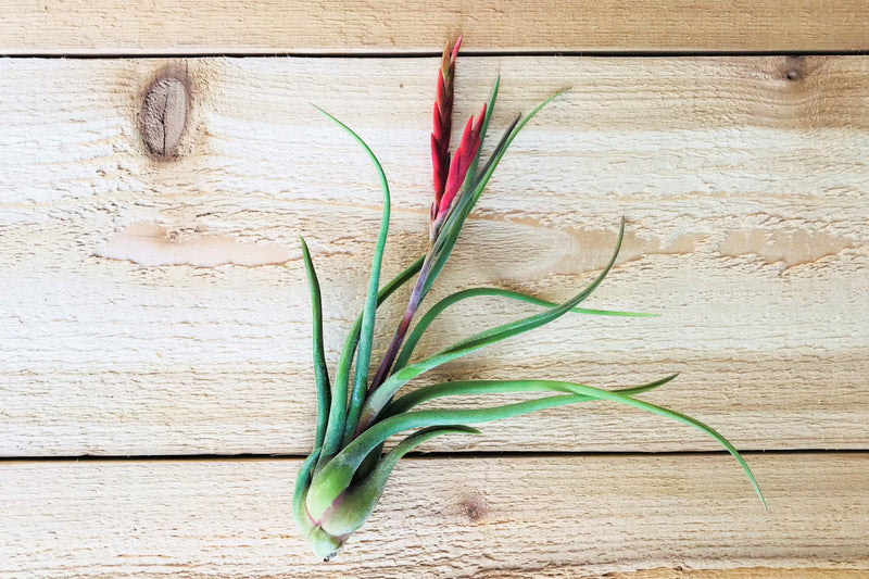 Sale: 50% Off [10, 20 or 50 Pack] Large / 5-7 Inches Tall Tillandsia Caput-Medusae Air Plants from AirPlantShop.com