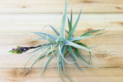 Post Bud: Tillandsia Purpurea Air Plants - Large Specimen with Pups - Limited Quantities [Single Plant] from AirPlantShop.com