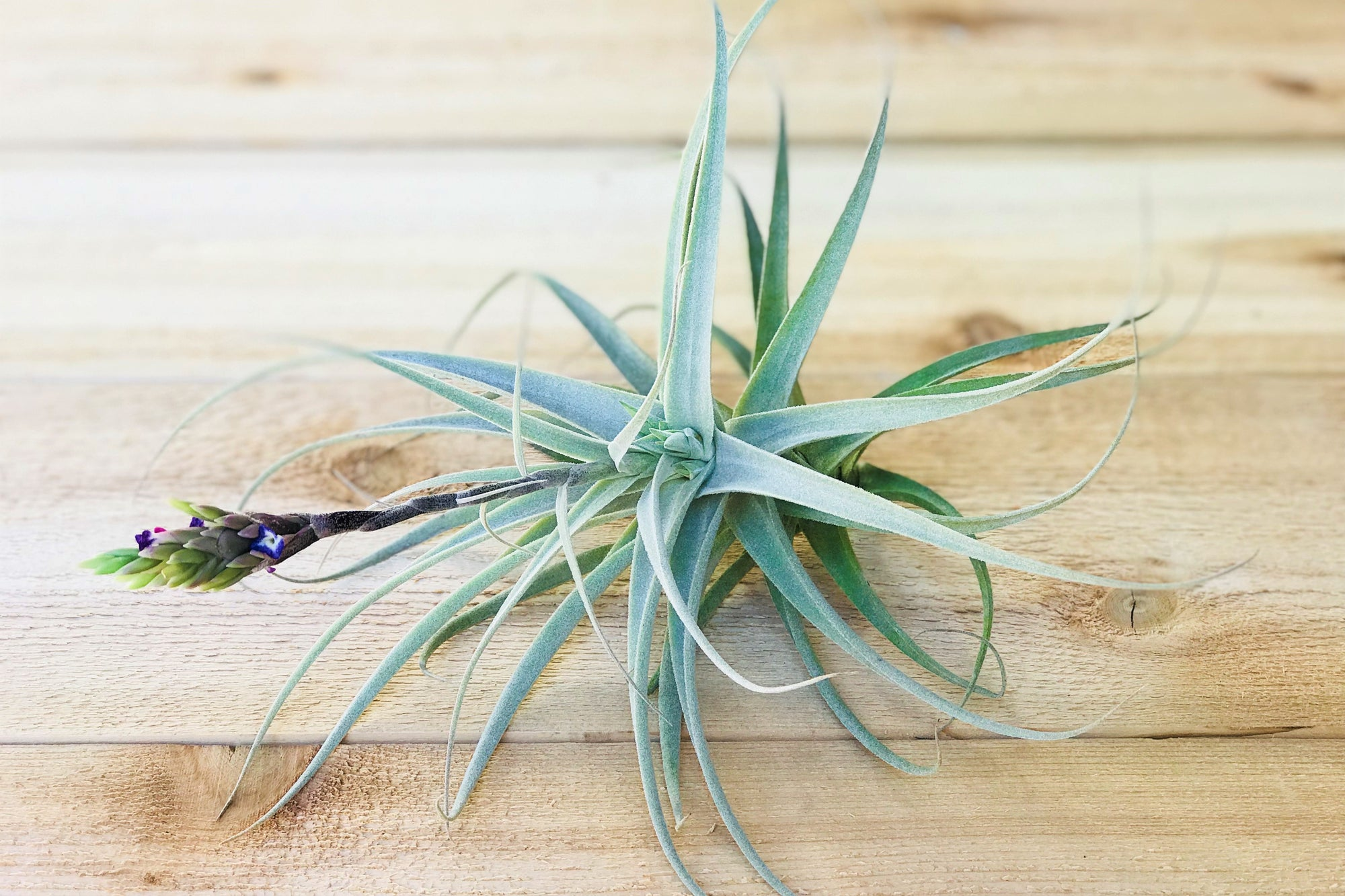 In Bud Now: Tillandsia Cacticola Air Plants - Large Specimen [Single Plant] from AirPlantShop.com