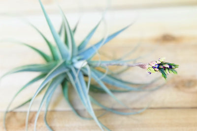 Large Tillandsia Purpurea Air Plants - Limited Quantities - Not Currently in Bloom [Single Plant] from AirPlantShop.com