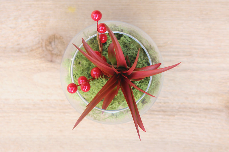 Festive Terrarium with Red Abdita Air Plant from AirPlantShop.com