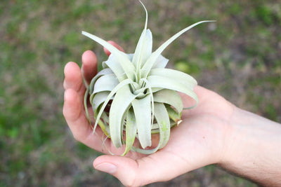 Tillandsia Xerographica - Seedling Size: 2 to 3 Inches Wide [Single Plant] from AirPlantShop.com