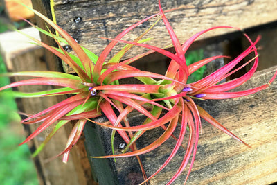 Sale: 60% Off [10, 20, or 30 Pack] Abdita Brachycalous Air Plants from AirPlantShop.com