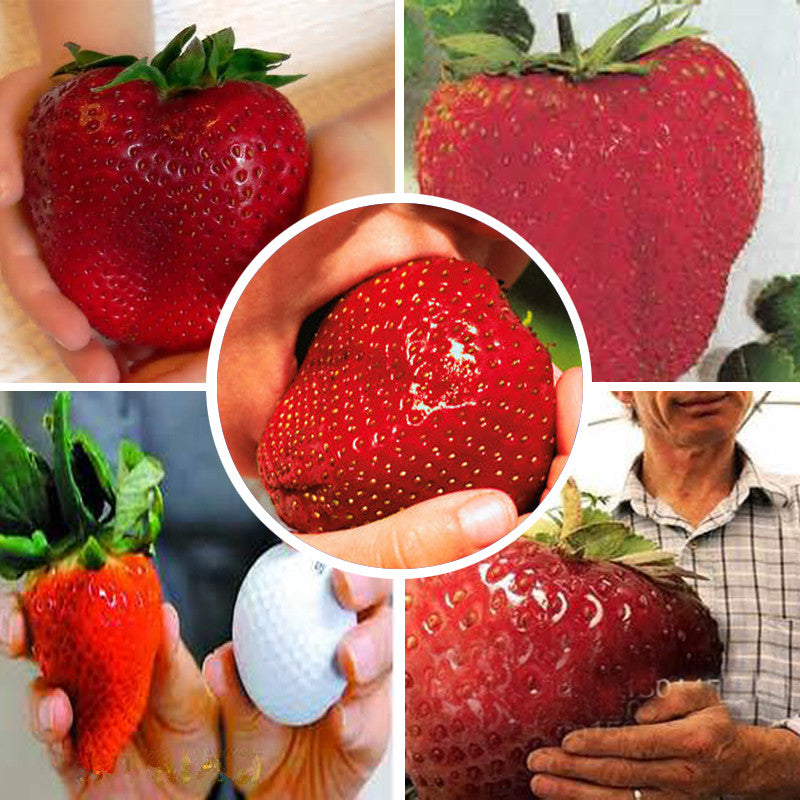 Giant strawberry seeds sweet four seasons,Rare, Fragrant, Sweet & Juicy - 1000 pcs seeds