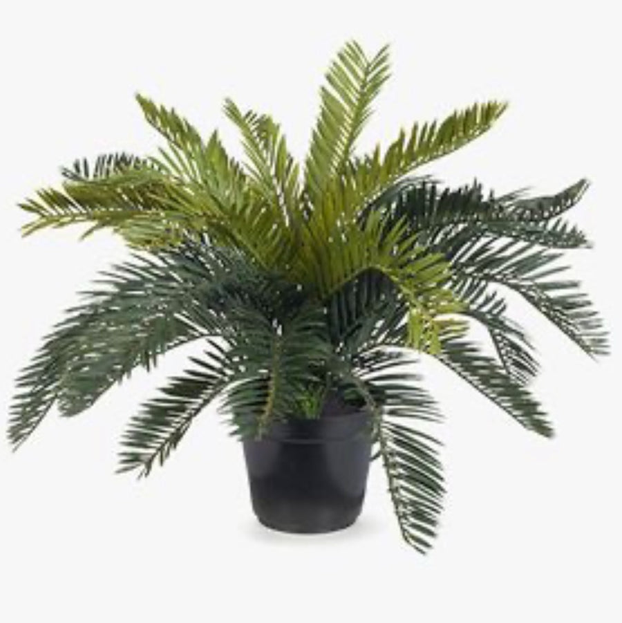 Cycad Palm in Pot