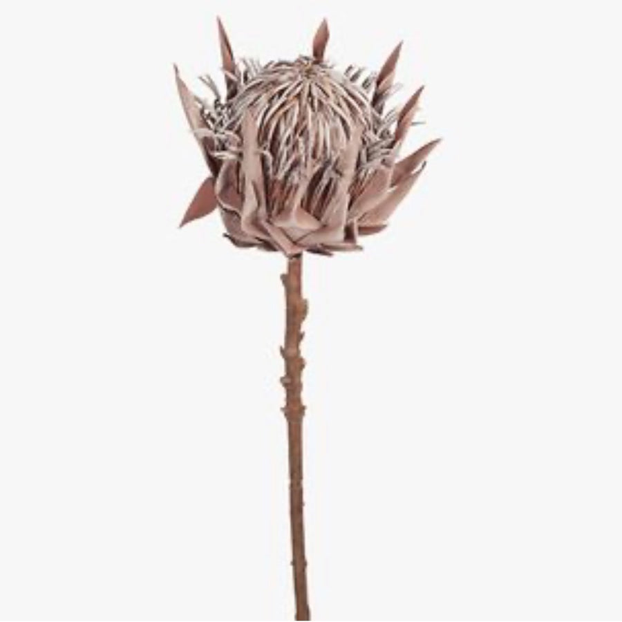 Protea King 66cm Coffee