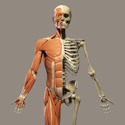 human skeleton and muscular form