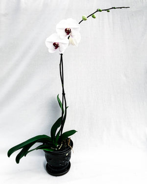 Large Deluxe Phalaenopsis Orchid Potted In A Ceramic Glazed Pot