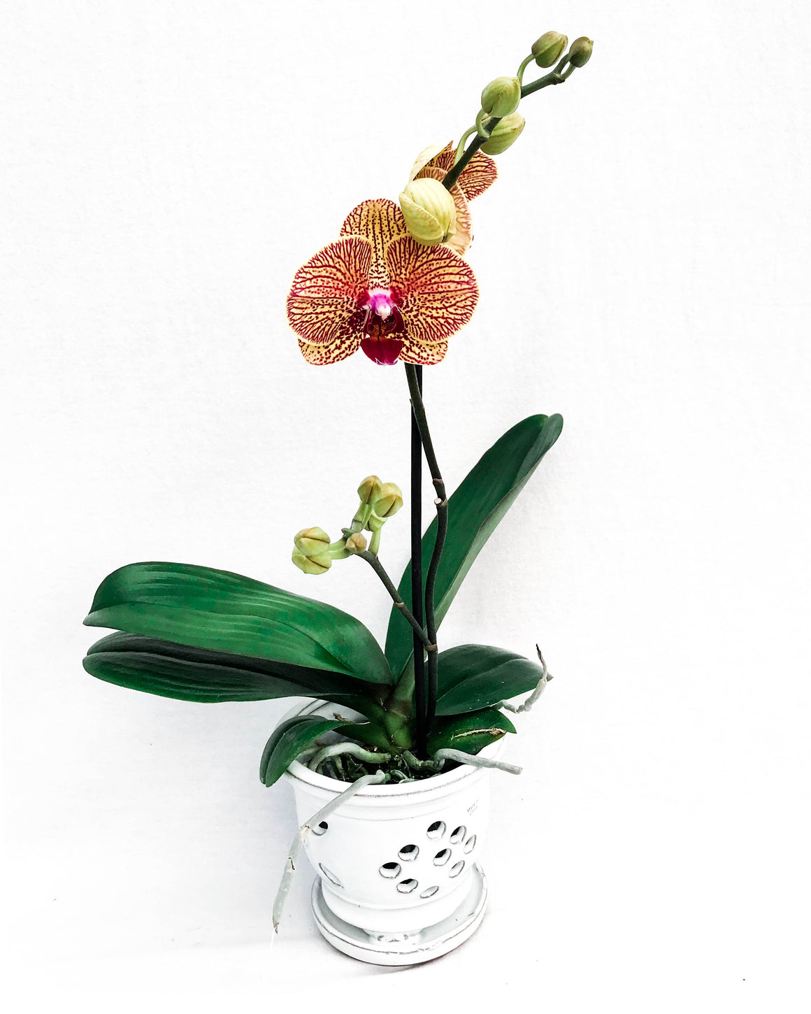 Premium Phalaenopsis Orchid Potted in a Ceramic Glazed Pot