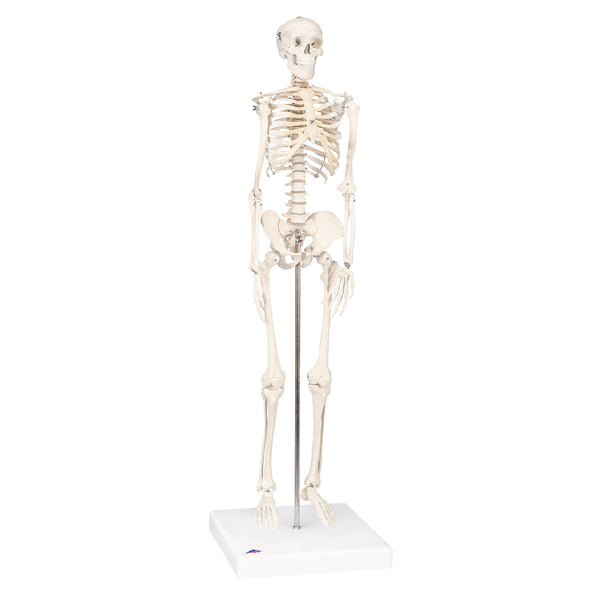 Edu-Toys Mini Human Skeleton Model canada ontario science
