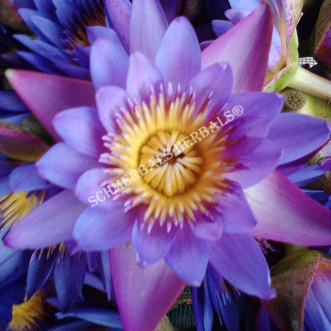 Organic Blue Lotus, Sacred Lotus, and White Lotus
