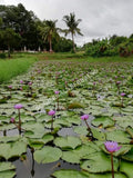 "Organic Whole Flower Blue Lotus Pond, Growing Nymphaea caerulea, ""Siamese Dream™"""