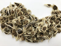 Dried Drumstick Tree Seeds, Moringa oleifera, for Sale from Schmerbals Herbals