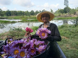 "Harvesting Organic Whole Flower Blue Lotus, Nymphaea caerulea, ""Siamese Dream™"" For Sale from Schmerbals Herbals"