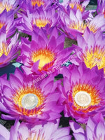 "Freshly Harvested Organic Whole Flower Blue Lotus, Nymphaea caerulea, ""Siamese Dream™"" For Sale from Schmerbals Herbals"