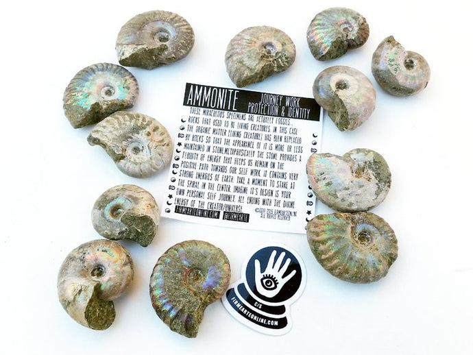 Whole ammonite fossils