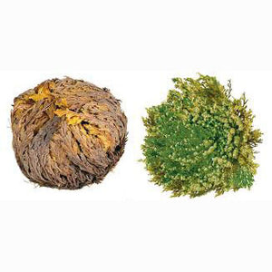 Rose Of Jericho | The resurrection plant