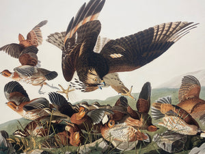 Audubon print for sale, Rare Prints Edition