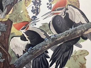 Audubon prints,flamingo,Audubon art for sale,Audubon prints for sale,originals,Havell,birds of America,Octavo,Quadruped,John James audubon