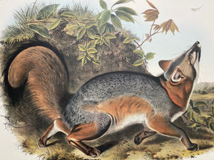 Audubon print, Imperial Quadruped Grey Fox