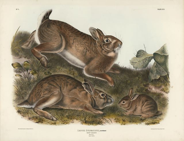 Original Audubon Imperial Grey Rabbit