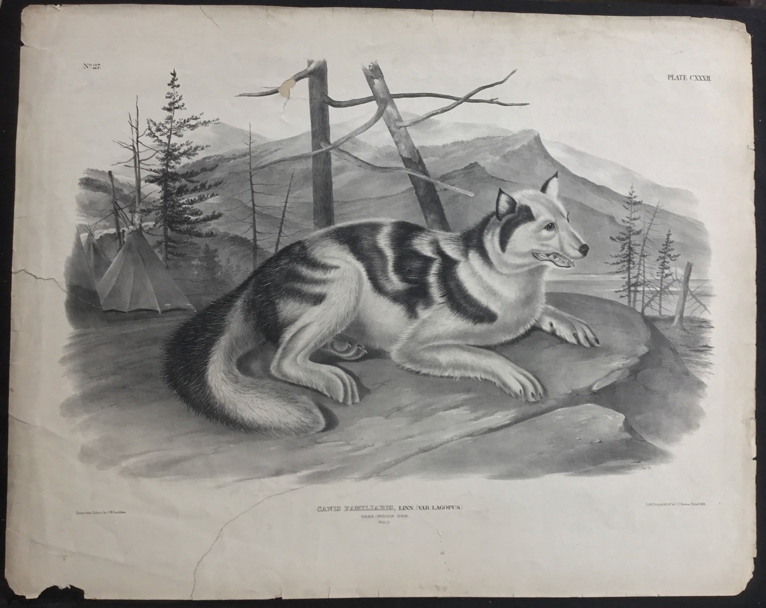 Lord-Hopkins Collection, Audubon Original Imperial plate 132, Hare Indian Dog