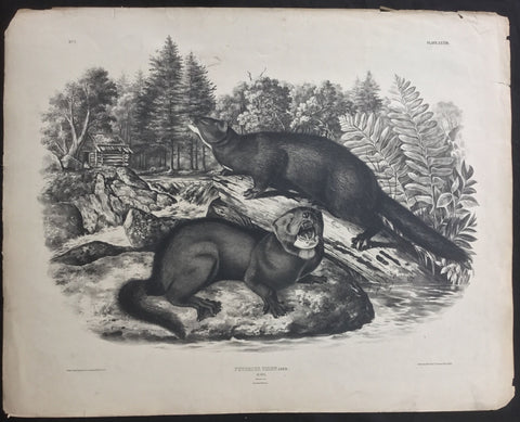 The Mink - Audubon Quadruped Test Sheet - Lord-Hopkins Collection