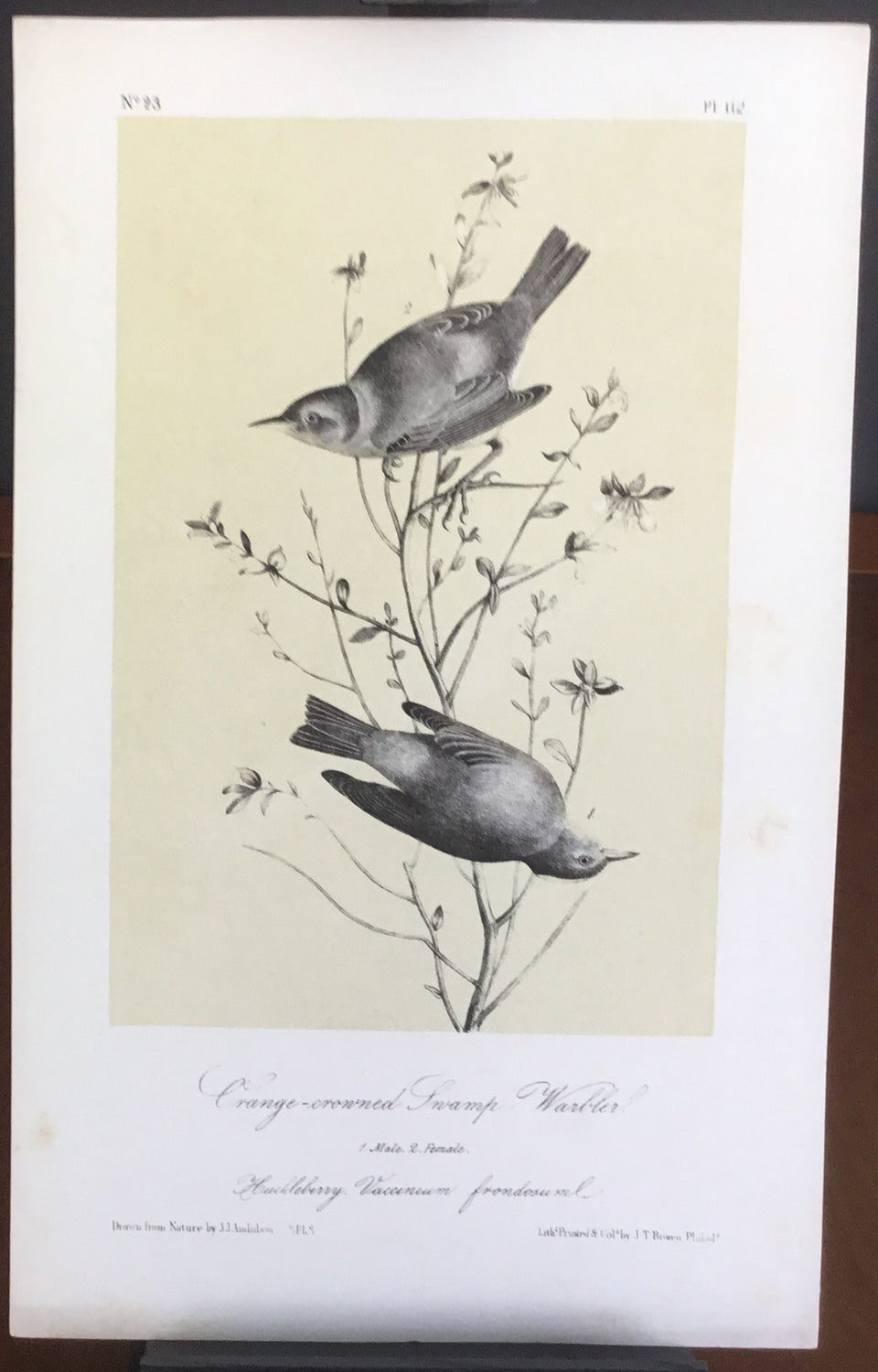Audubon Octavo Orange-crowned Swamp Warbler, plate 112, uncolored test sheet, 7 x 11