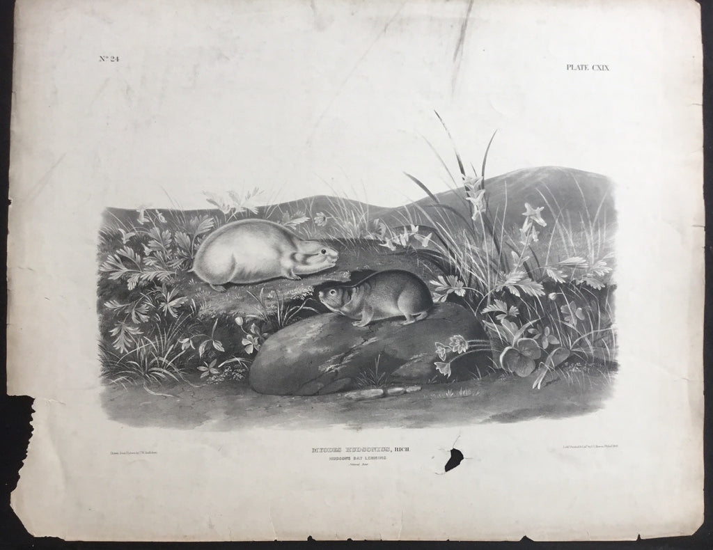 Lord-Hopkins Collection, Audubon Original Imperial plate 119, Hudson Bay Lemming