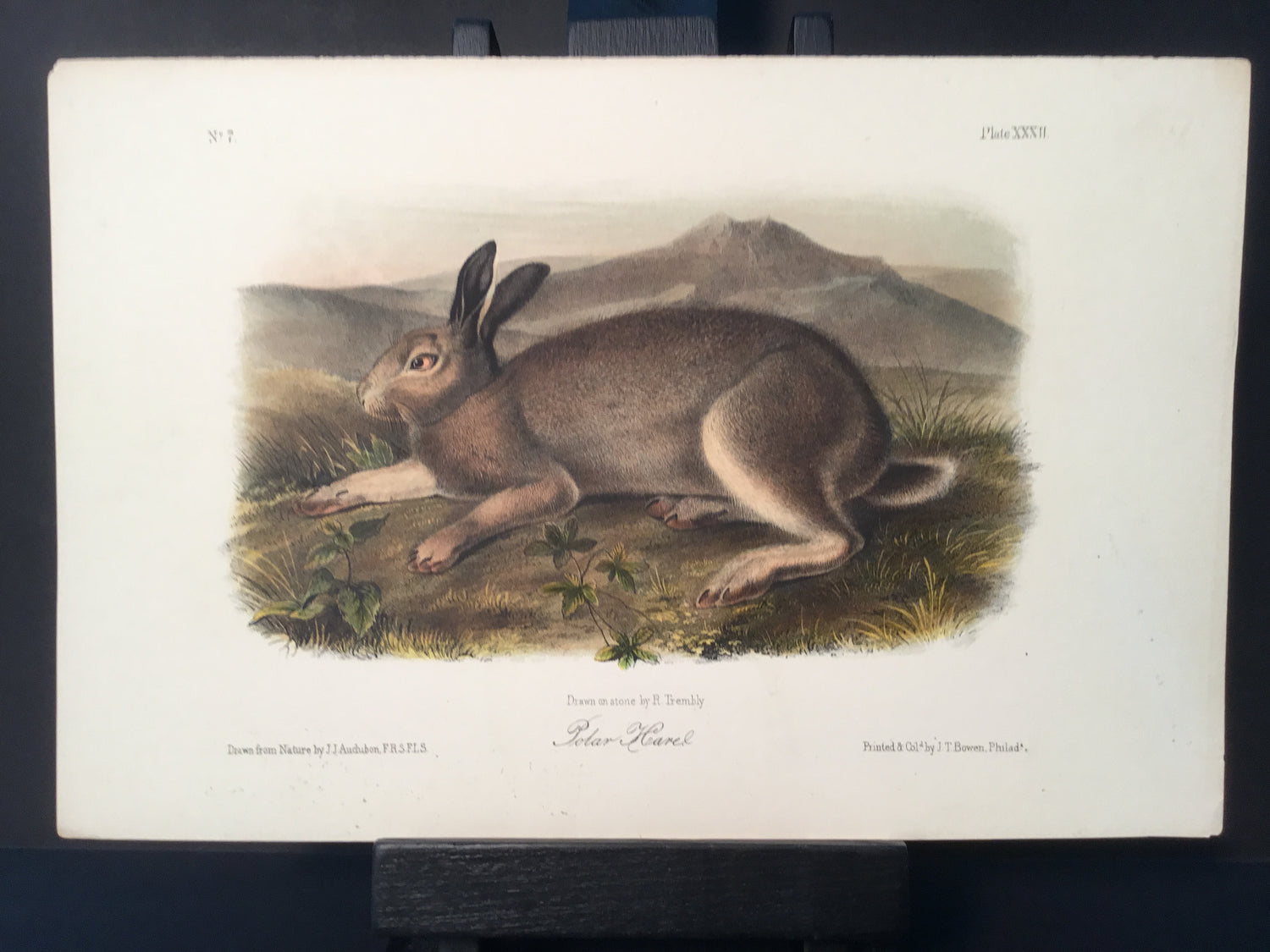 Lord-Hopkins Collection - Polar Hare
