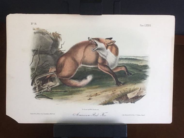 lord-Hopkins Collection Octavo Quadruped - American Red Fox
