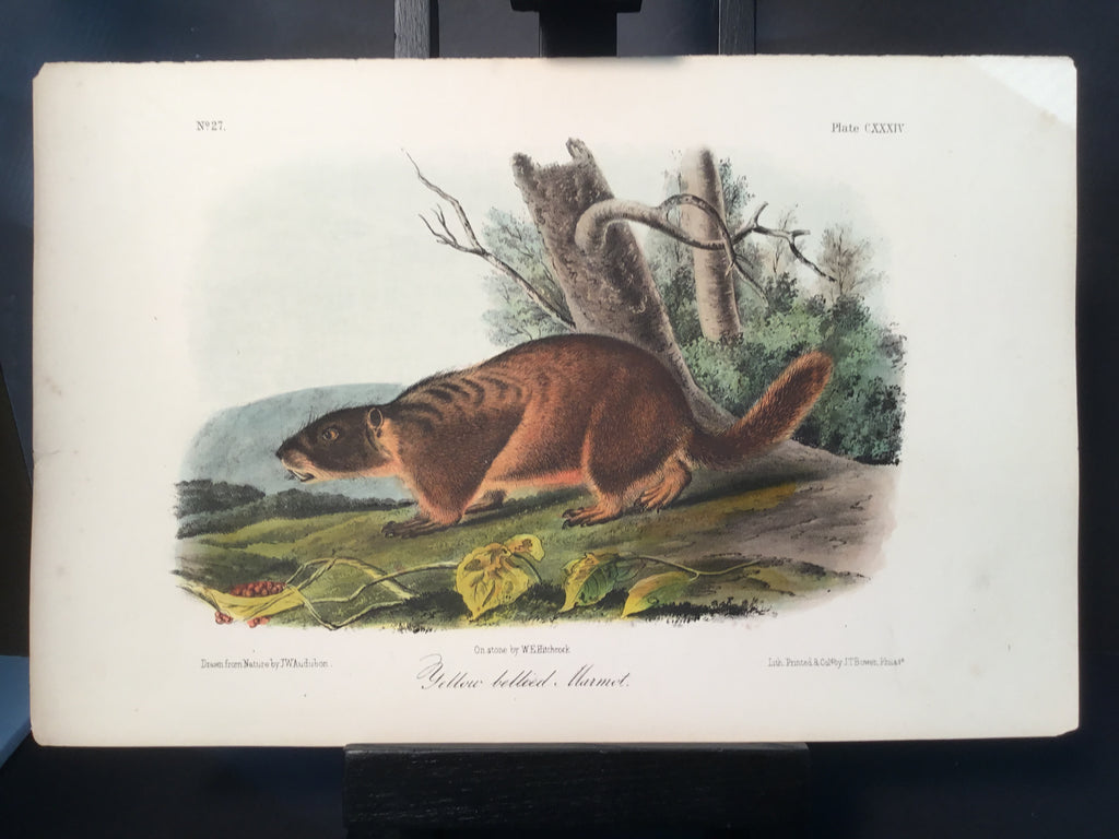 Lord-Hopkins Collection - Yellow Bellied Marmot