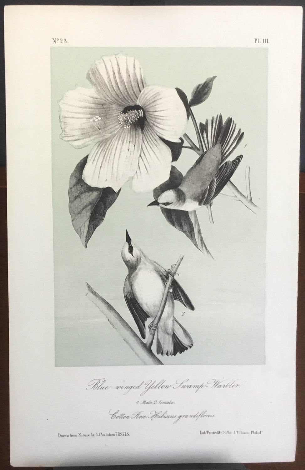 Audubon Octavo Blue-winged Yellow Swamp Warbler, plate 111, uncolored test sheet, 7 x 11