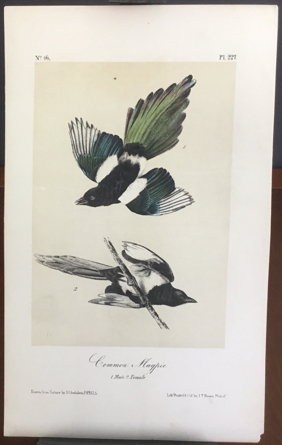 Audubon Octavo Common Magpie, plate 227, uncolored test sheet, 7 x 11