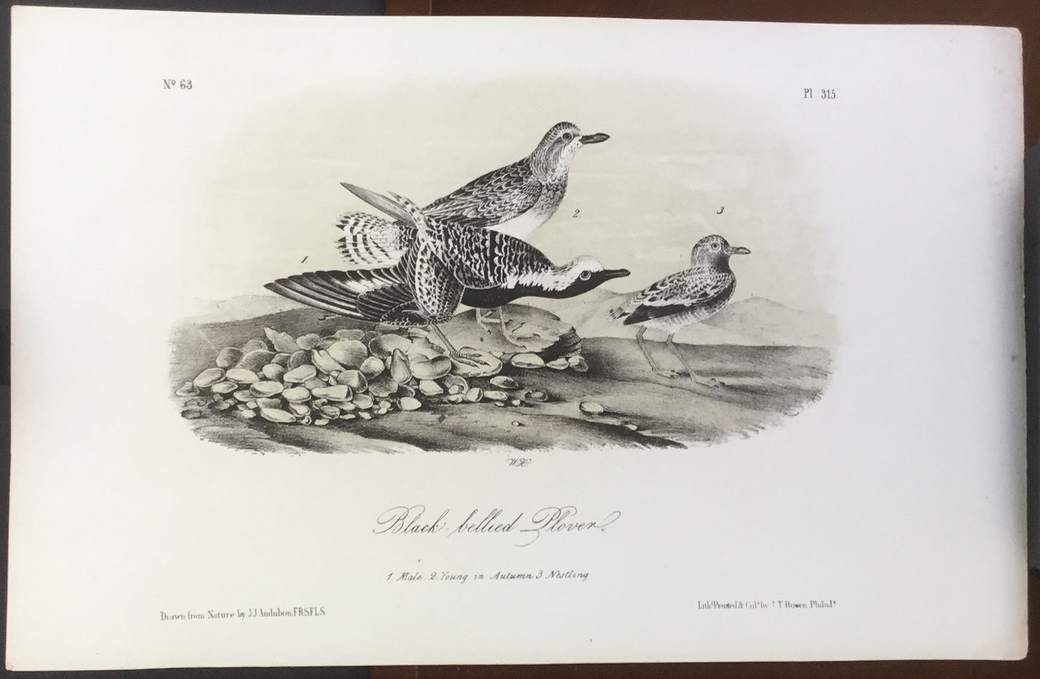 Audubon Octavo Black-bellied Plover, plate 315, uncolored test sheet, 7 x 11