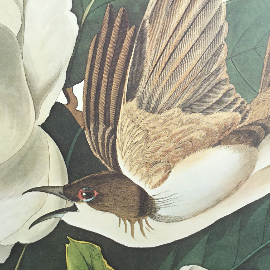 Black-billed Cuckoo Audubon Print. Princeton Audubon. The world's only direct camera edition of this image.