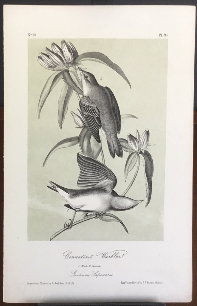 Audubon Octavo Connecticut Warbler, plate 99, uncolored test sheet, darker tint, 7 x 11