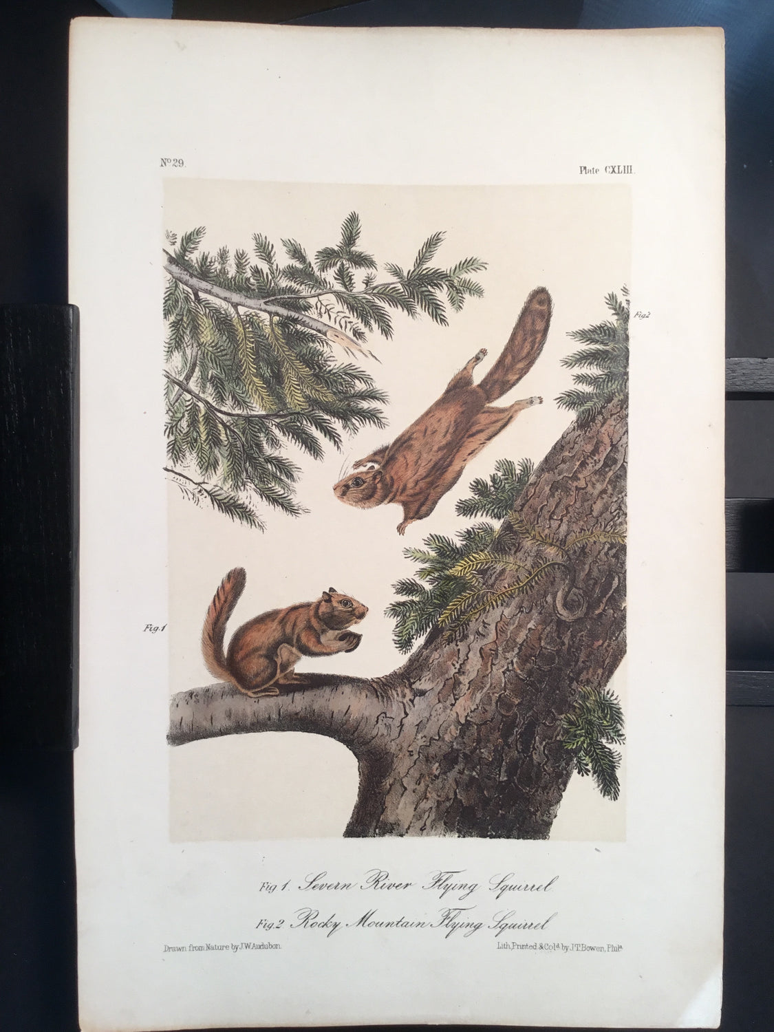 Lord-Hopkins Collection - Flying Squirrel