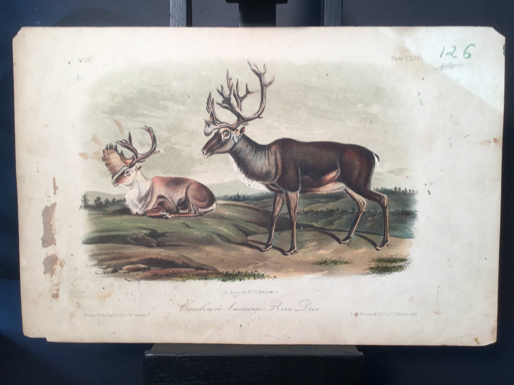 Lord-Hopkins Collection - Caribou or American Rein Deer
