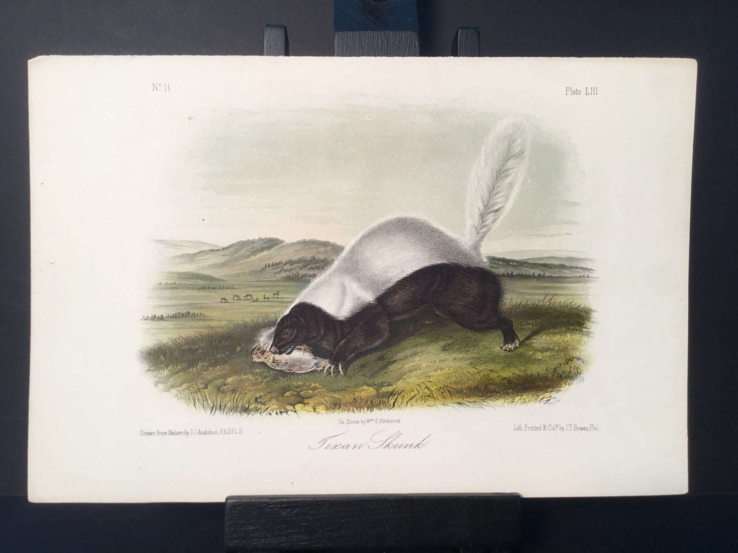 Lord-Hopkins Collection - Texan Skunk