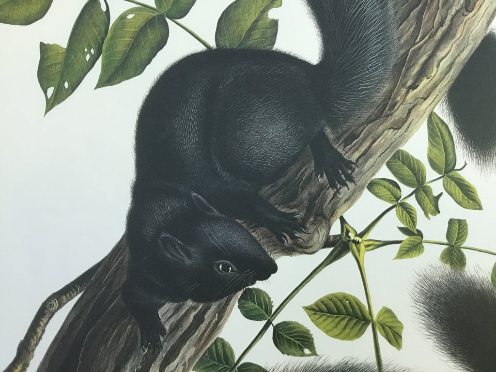 Black Squirrel, Princeton Audubon Imperial Edition