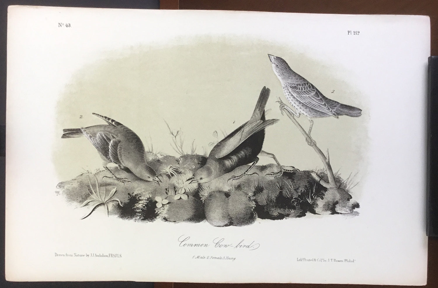 Audubon Octavo Common Cow-bird, plate 212, uncolored test sheet, 7 x 11