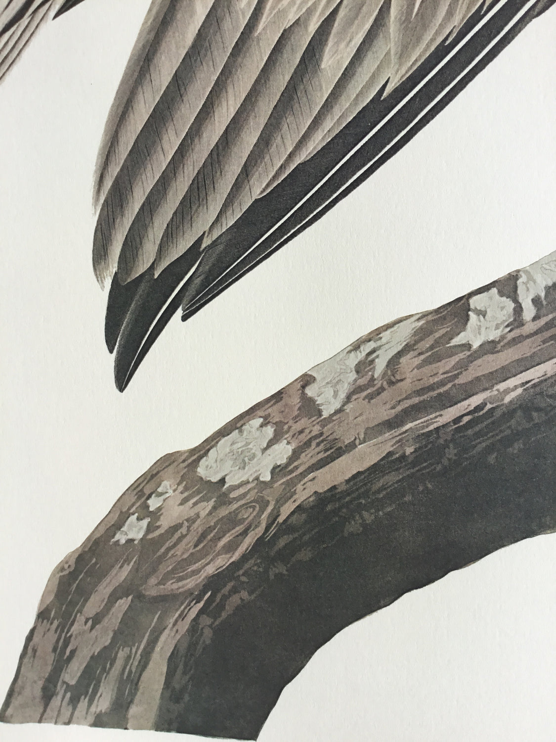 Brown Pelican Audubon Print. Princeton Audubon.The world's only direct camera image of Audubons original. 26 1/4 x 39 1/4. Positioned by Audubon in a Mangrove tree. Florida Keys, 1832.