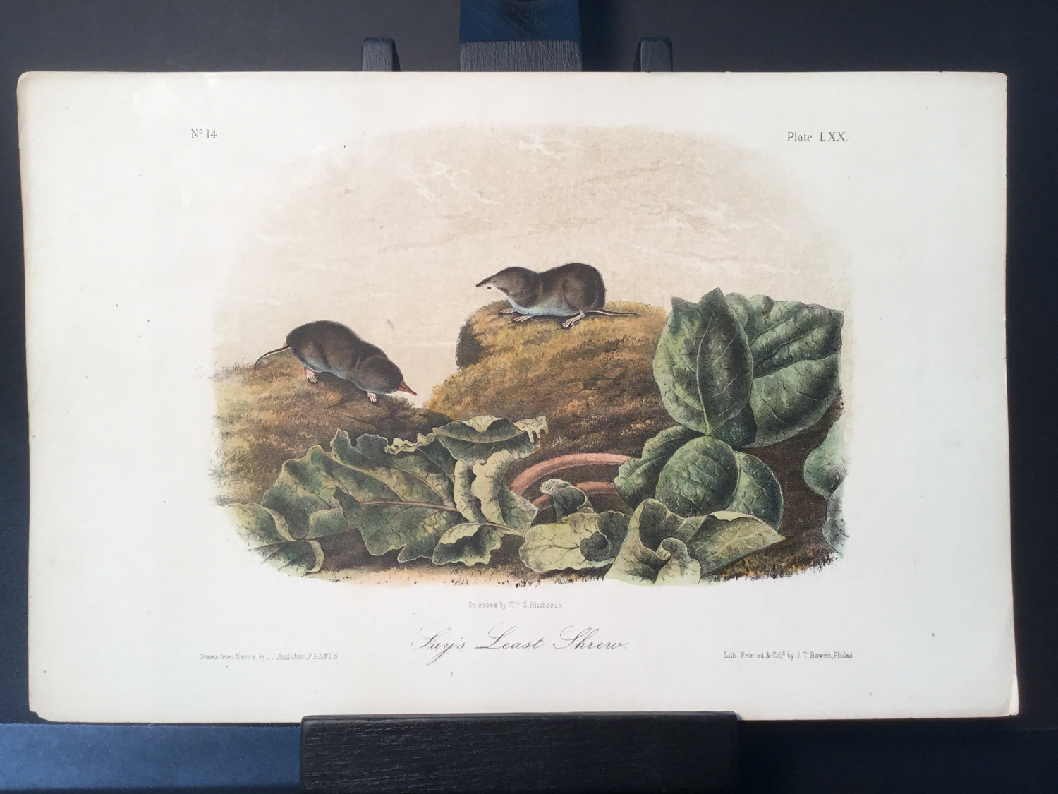Lord-Hopkins Collection - Say's Least Shrew