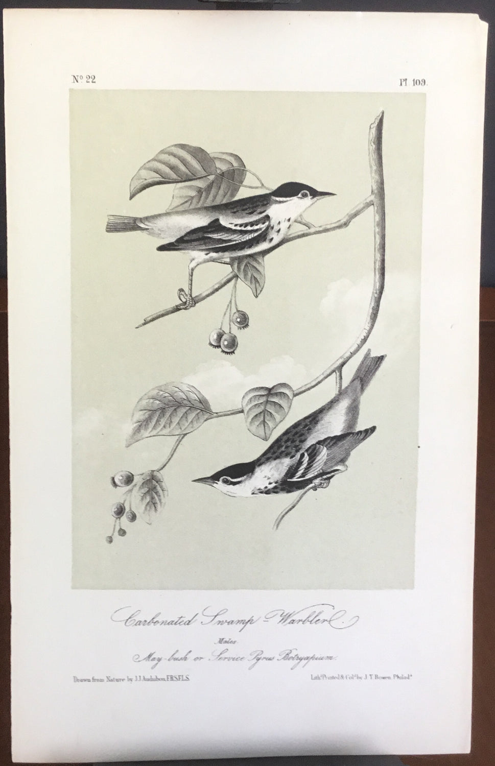 Audubon Octavo Carbonated Swamp Warbler, plate 109, uncolored test sheet, darker tint, 7 x 11