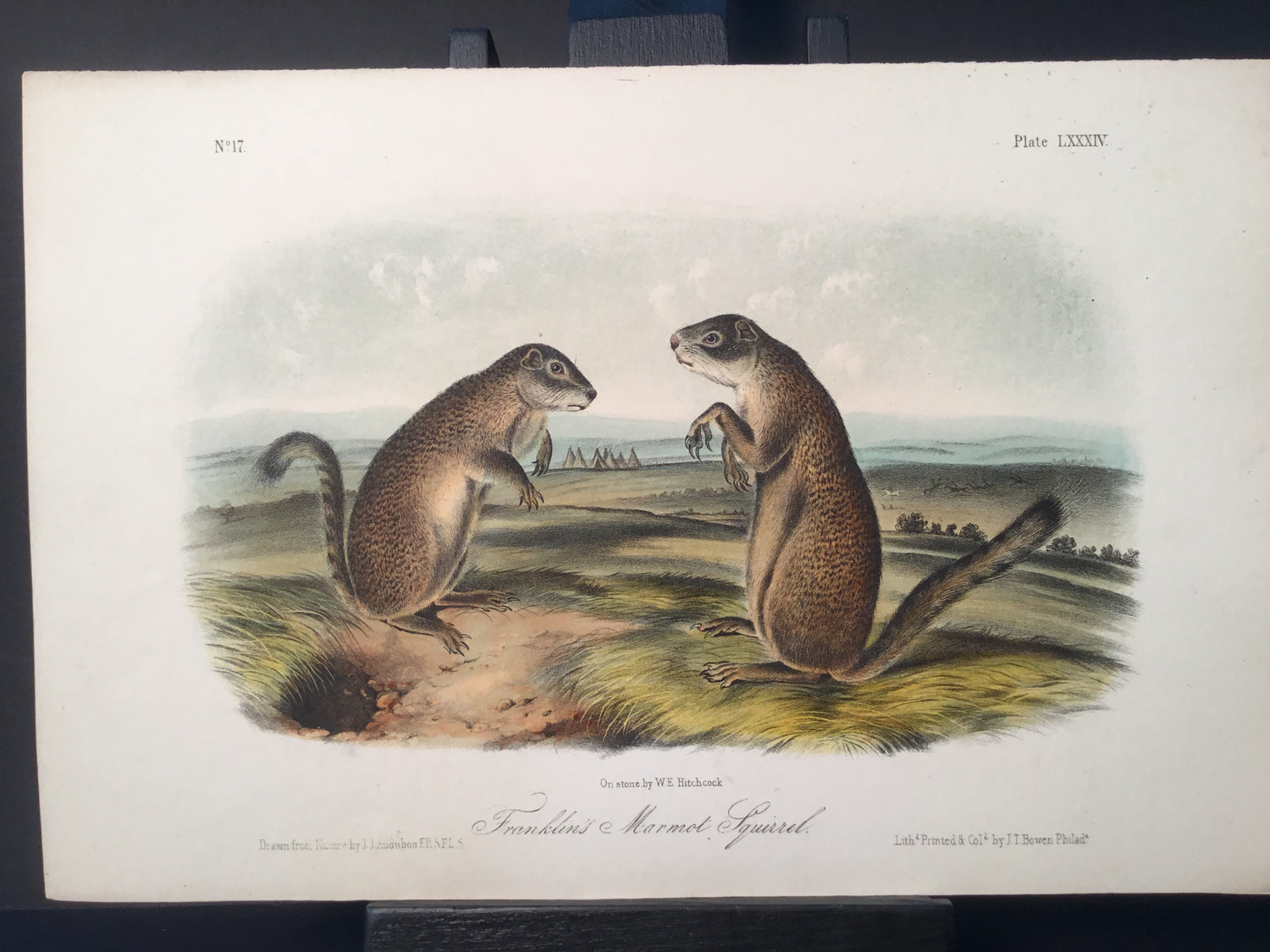 Lord-Hopkins Collection - Franklin's Marmot Squirrel