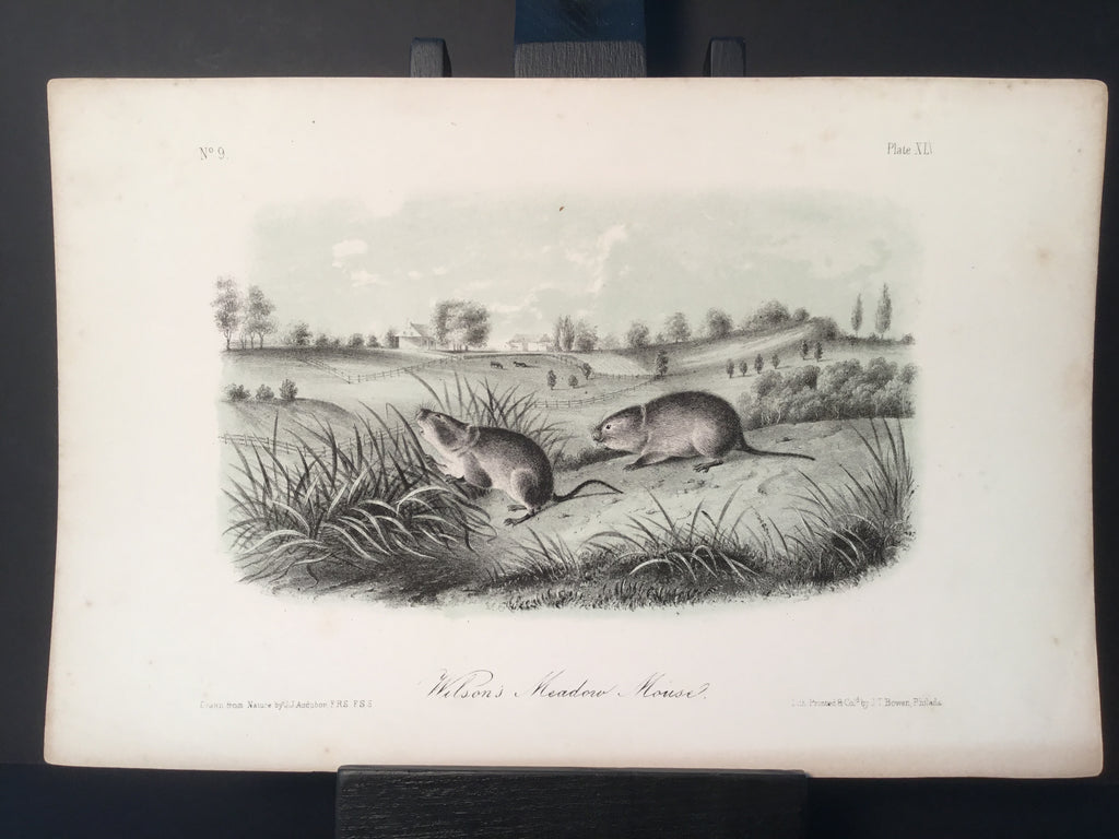 Lord-Hopkins Collection - Wilson's Meadow Mouse