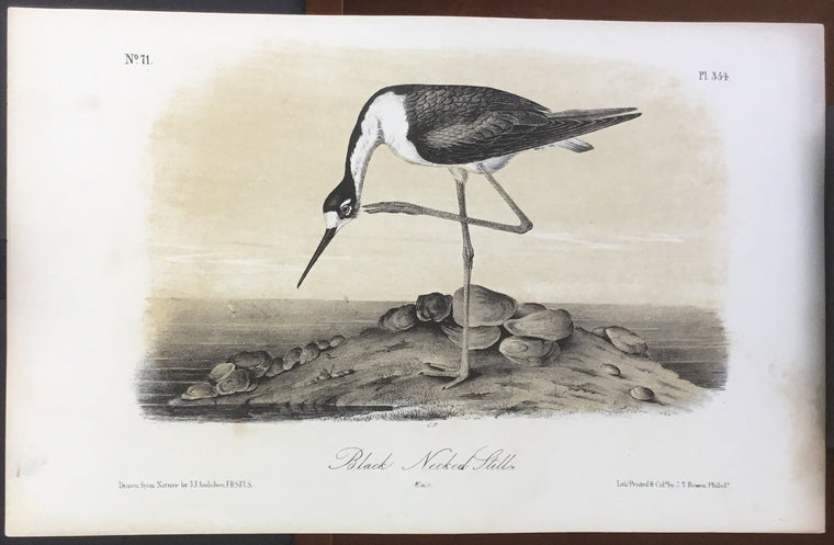 Audubon Octavo Black-necked Stilt, plate 354, uncolored test sheet, 7 x 11