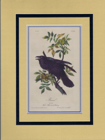 Audubon Original Octavo Matted, The Raven, plate 224