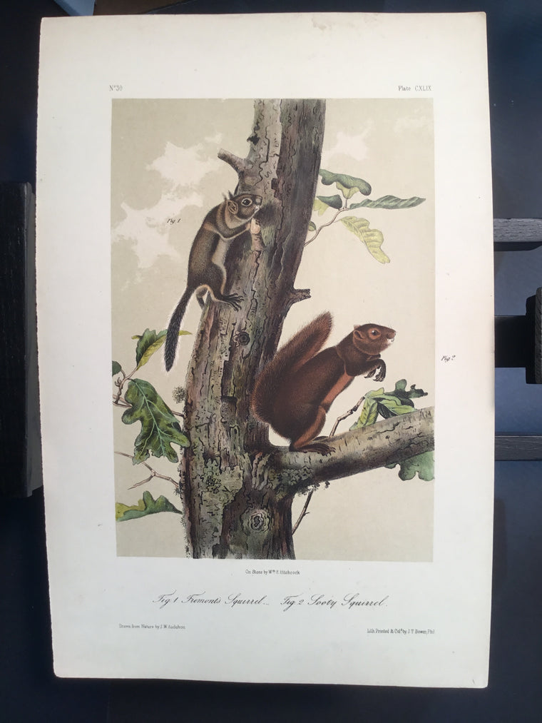 Lord-Hopkins Collection - Sooty Squirrel